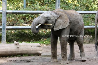Kibo, 4 Jahre alt, im Zoo Wuppertal, Oktober 2009 (Foto: Barbara Scheer)