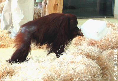Mota sucht auch im Kanister nach Futter, 12. Jänner 2010