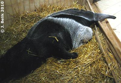 Ameisenbärin Ilse, 7. Februar 2010