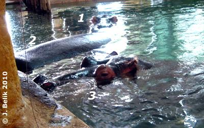 Die drei Flußpferde in der Innenanlage, 29. Jänner 2010