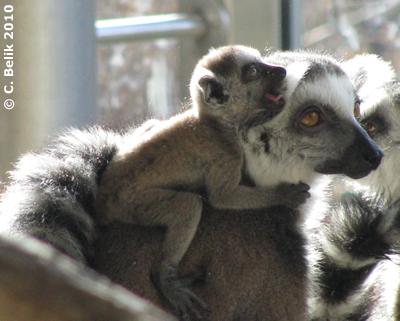 ... das macht ganz schön müde! Katta-Baby auf Mamas Rücken, 23. Februar 2010