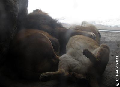 Papa Owambo und Mama Somali schlafen im Innenbereich der Löwenanlage, 12. Februar 2010