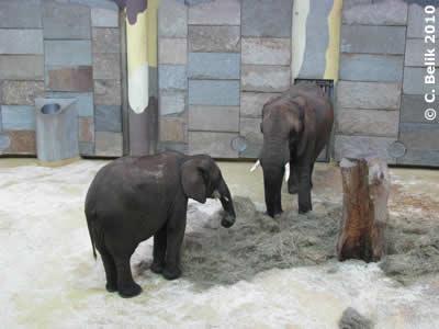 Mongu und Tonga im vorderen Teil des Elefantenhauses, 11. Februar 2010