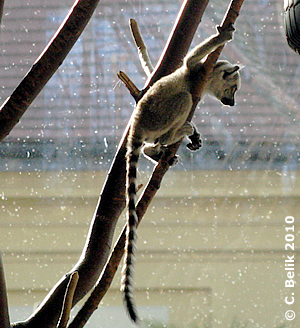 Katta-Baby #1, 26. März 2010