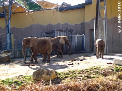 Numbi (li), Drumbo (mitte), und Kibo (re) vor dem Haus in der Außenanlage, 3. März 2010