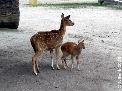 Axishirsch mit Jungtier, 19. Mai 2010