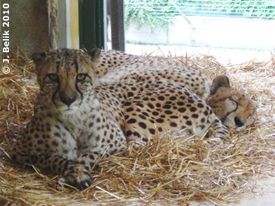 Tashani (schauend) und Wapesi (schlafend), 19. Mai 2010