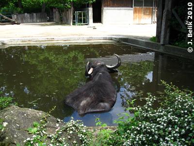 Wasserbüffel Otto, 23. Mai 2010