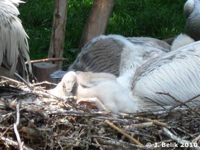 Pelikan-Küken, ein Traum von Flaum! 23. Mai 2010