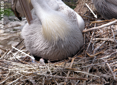 Das jüngste Pelikan-Küken (Pfeil li) und Nest mit Ei (Pfeil re), 9. Mai 2010