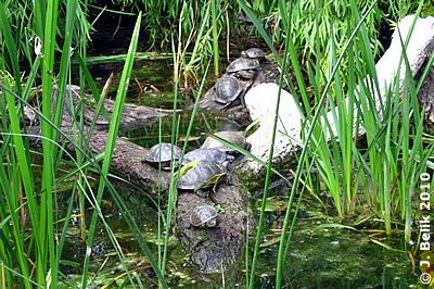 Sumpfschildkröten, 28. Mai 2010