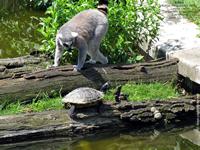 Katta und Schildkröte