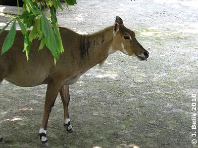 Nilgau im Nashorn-Park, 8. Juni 2010