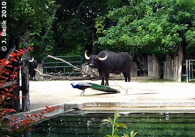 Pfau-Besuch bei den Wasserbüffeln, 22. Juni 2010
