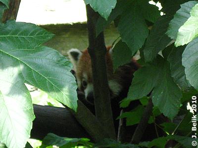 Roter Panda #1, 26. Juni 2010