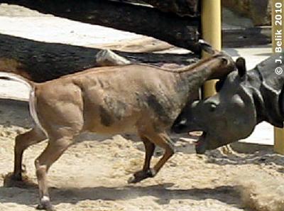 Frau Nilgau legt sich mit Sundi an! 26. Juni 2010