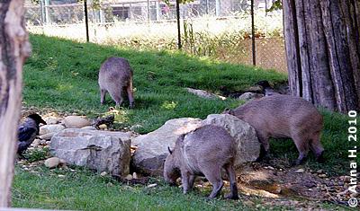 Die drei Wasserschwein-Jungtiere in der Außenanlage (der rasierte RÜcken ist die Folge einer Meinungsverschiedenheit mit einem Ameisenbären), 11. Juli 2010