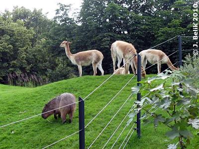 Capybara (vorne) und Vikunjas auf dem Hügel, 26. Juni 2010