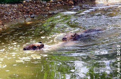 Die beiden großen Capybaras beim Schwimmen, 13. Juni 2010