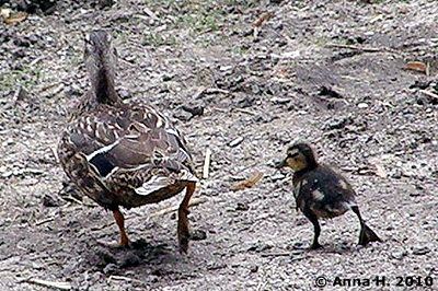 Enten-Mama mit ihrem Küken im Nashorn-Park, 28. Juli 2010