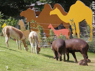 Vikunjas, Tapire und Capybara (re vorne) friedlich vereint in der Außenanlage, 4. Juli 2010