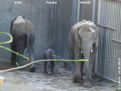 Kibo mit Baby Tuluba und Mama Numbi, 25. August 2010