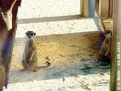 Erdmännchen, 22. August 2010