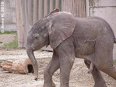 Mini-Eli, 9 Tage alt, in der großen Außenanlage, 15. August 2010