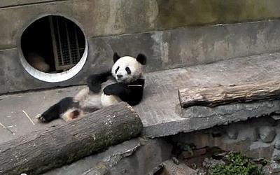 Fu Long in Bi Feng Xia, 27. September 2010 (Screenshot von Video)