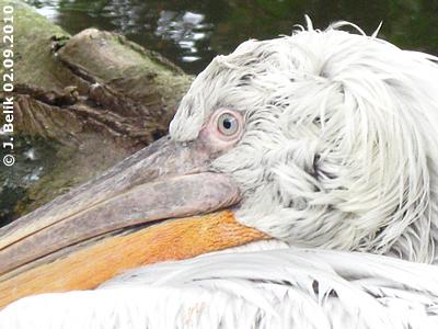 Dieser Pelikan ...