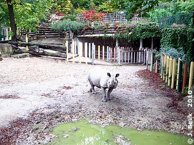 Nashornbulle Jange - das Laub hinten an der Mauer hat sich inenrhalb eienr Woche deutlich verfärbt, 6. Oktober 2010
