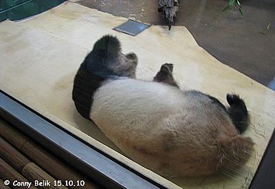 Schlafmütze Long Hui im Pandahaus, 15. Oktober 2010