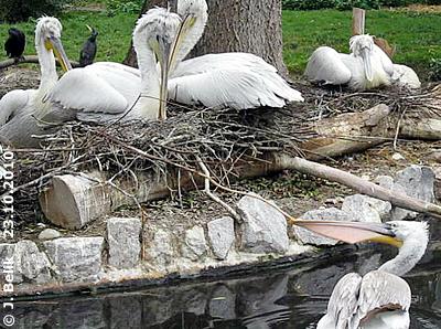 Ein Pelikan will Nistmaterial klauen, 23. Oktober 2010