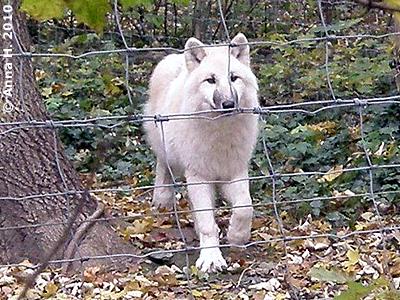 Die junge Wölfin in ihrem neuen Reich, 24. Oktober 2010