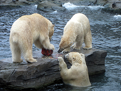 Arktos, Nanuq und Sprinter mit der Geburtstagstorte, 28. November 2010 (Foto: Zoo Hannover)