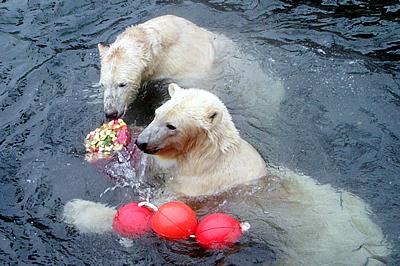Arktos und Nanuq mit ihrem neuen Spielzeug, 28. November 2010 (Foto: Zoo Hannover)
