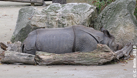 Nashornbulle Jange, 3. November 2010