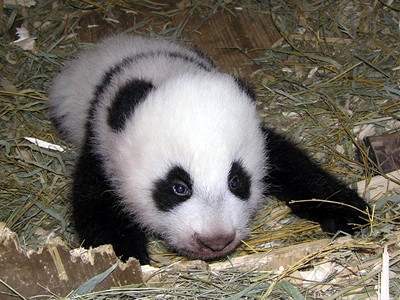 Pandababy Fu Hu, 22. November 2010 (Foto: Renate Haider / Tiergarten Schönbrunn)