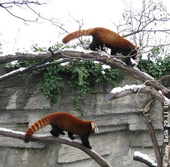 Rote Pandas, 29. November 2010