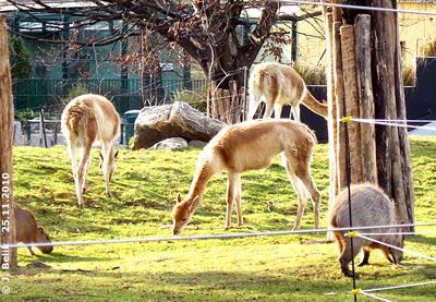 Vikunjas und Capybaras in der Novembersonne, 25. November 2010