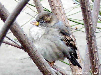 Auch dieser entzückende Winzling wohnt (als Besucher) im Tiergarten, 25. November 2010