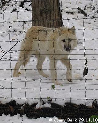 Auch für die junge Wölfin ist der erste Schnee etwas Besonderes, 29. November 2010