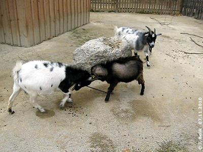 BEim Streichelzoo gibt es täglich Action bei den Rangeleien des Nachwuchses, 7. November 2010