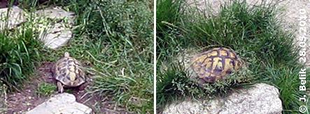 Griechische Landschildkröten, 28. Mai 2010