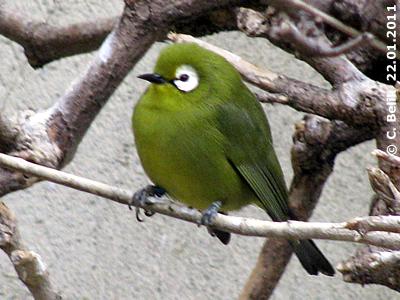Kikuyu Brillenvogel, 22. Jänner 2011