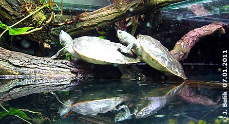 Die beiden Batagur-Babys, 7 Monate alt, 12. Jänner 2011