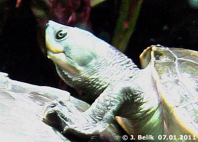 Eine der beiden Batagur Babyschildkröten, 7. Jänner 2011