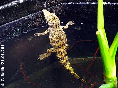 Eines der Mini-Krokos, 2 Monate alt, 21. Jänner 2011