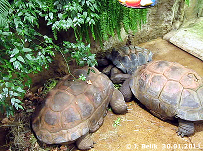 Gemeinsam schmeckt's besser! Riesenschildkröten, 30. Jänner 2011