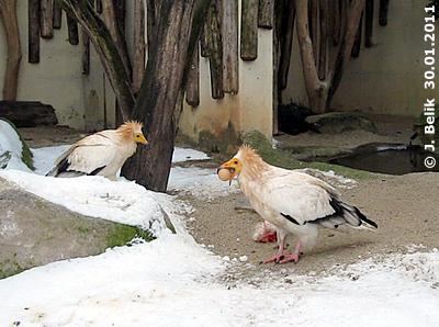 Die Schmutzgeier lieben ihr Sonntagsei! 30. Jänner 2011